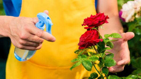 Водой сбрызгивать можно только розы