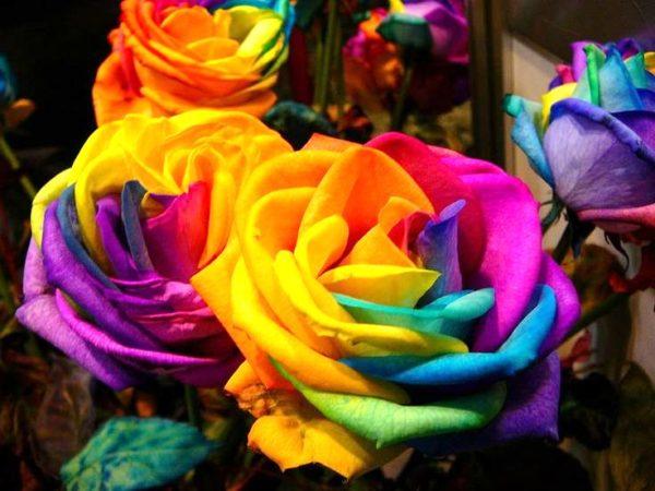 При покупке крашеных цветов, просите, чтобы продавец при вас окрасил цветы - их часто окрашивают, когда на лепестках появляются белые пятна